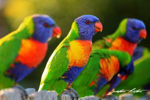 Lorikeets Australia on Fence Peter Lister