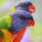 Lorikeets Rainbow Australia Backyard Peter Lister