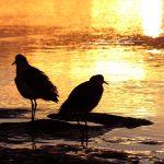 Urunga Sunrise Kalang River Plover Birds Peter Lister