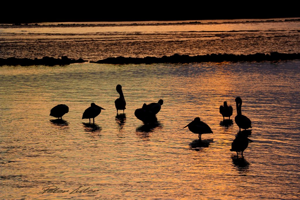 Sea Birds at Urunga NSW